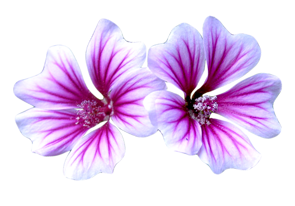 Malva Sylvestris (Mallow) Extract