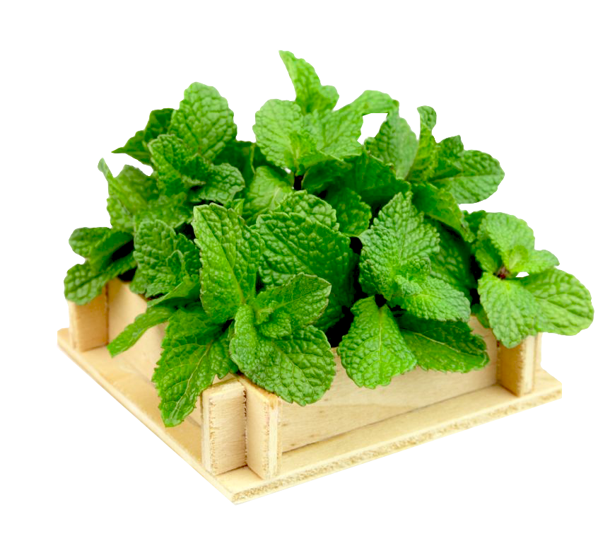 Mentha Piperita (Peppermint) Leaf Extract